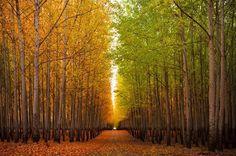 Boardman Tree Farm in Oregon, USA   Amusing Planet