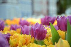 Tulips  #FlowerDomeSG