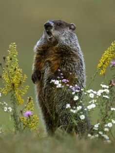 how much wood could a woodchuck chuck if a woodchuck could chuck wood?