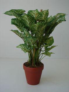 *Dieffenbachie Giftaron Topfpflanze Kunstblume künstliche Pflanze Zimmerpflanze*