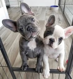 🐶 Are you one of the pug lovers or french bulldog lovers? 🐶 #frenchies #lover #love #puppy #frenchbulldog #dog #doggies #cute #precious #dogmom