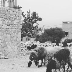 Morocco I love you thank you for helping The Woven Dream grow  #wanderlust adventure #travel #livelaughlove #sharethelove #morocco #sheep #photography #thewovendream #animal #wildandfree #travel #nature