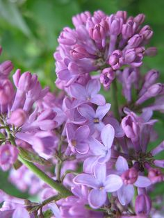 Lilac- I was hoping we'd have a late spring so we could snag some lilacs of our bush and put them around the reception venue. I'm not sure that's going to work out very well...