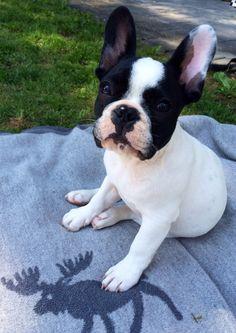 French Bulldog Puppy, via the dailyfrenchie