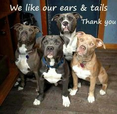 Pit Bulls like their ears and tails just like they are