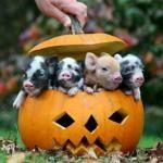 Piglets in a Pumpkin