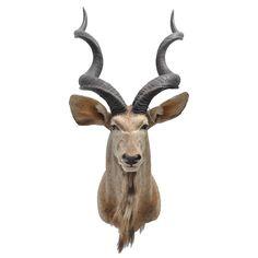 Greater Kudo