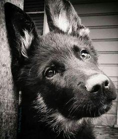 Wicked Training Your German Shepherd Dog Ideas. Mind Blowing Training Your German Shepherd Dog Ideas. Beautiful Dogs, Animals Beautiful, I Love Dogs, Cute Dogs, German Shepherd Puppies, German Shepherds, Jolie Photo, Happy Dogs, Doge