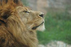 "Lion  ""크아아아앙~"""