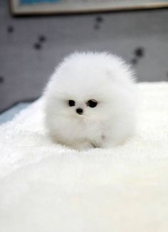 Cotton ball puppy!
