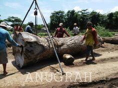 Saman tree,rain tree.
