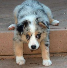 australian shepherd puppy derping on a step