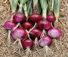"Red Burgundy Onion: 100 days.  (Allium cepa)  Red Burgundy onion produces colorful 4"" wide onions that have red skins with a white & pink interior. Red Burgundy Onion has a mild sweet flavor just like you would expect a red onion to have. Excellent slicing variety for salads or hamburgers. Red Burgundy is a short day variety suitable for Southern regions.  Red Burgundy onion is a great keeper; stores for long periods.  Resistant to botrytis and pink root. Contains approx. 85 heirloom seeds"