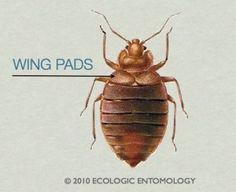 do carpenter ants bite find out here ants pinterest. Black Bedroom Furniture Sets. Home Design Ideas