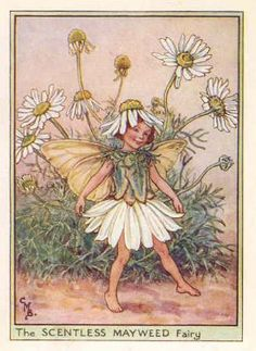 FLOWER FAIRIES: SCENTLESS MAYWEED.Old color print.c1948