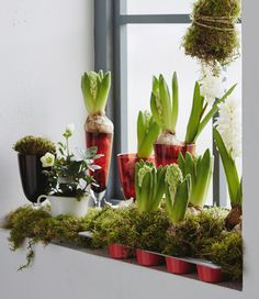 A windowsill is decorated for the holidays with moss and hyacinth bulbs, with are places in an IKEA DRÖMMAR muffin tin and decorative glasses.