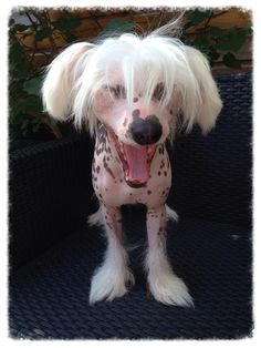 Gaia, Chinese Crested