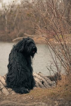 Briard - ancient breed of large herding dog, originally from France.