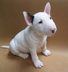 It's a bull terrier puppy! We had a bull terrier named Petie! Perros Bull Terrier, English Bull Terrier Puppy, Terrier Puppies, English Pitbull, Bull Terrier Funny, English Dogs, Mini Bull Terriers, Cute Puppies, Cute Dogs