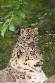 Snow Leopard Cub: Showing Affection Towards His Mom.