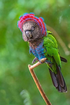 The red-fan parrot, also known as the hawk-headed parrot, is an unusual New World… - #birds