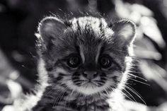 pequeño leopardo