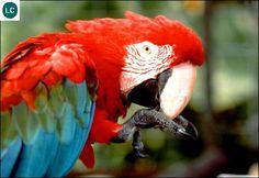 https://www.facebook.com/WonderBirdSpecies/ Red-and-green macaw/Green-winged macaw (Ara chloropterus); South America; IUCN Red List of Threatened Species 3.1 : Least Concern (LC)(Loài ít quan tâm) || Vẹt Macaw đỏ xanh lục; Nam Mỹ; HỌ VẸT - PSITTACIDAE (True parrots).