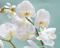 Orkidé (familien)// orchidaceae