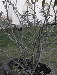 Leander metszése – Nőknek kertről. Horticulture, Nespresso, Plants, Gardening, Home Decor, Decoration Home, Room Decor, Garten, Planters