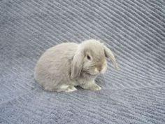 Holland Lop Bunnies - Delta/Surrey/Langley Pets For Sale - Kijiji Delta/Surrey/Langley Canada. I WANT IT I WANT IT I WANT IT!!!!!!!!!!!!!!!!!!!!!!!!!!!!!!!!!!!!!!!!!!!!! @Hannah Anderson