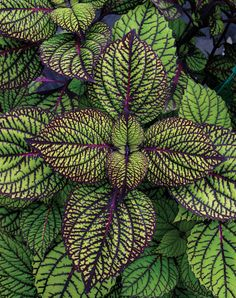 Types of Houseplant Bugs and Methods to Check Their Infestation Coleus Fishnet Stockings. Part Shade To Shade, Easy Maintenance, Will Grow In Container. From Proven Winners. The most effective method to Grow Care Advice For Coleus Plants: Shade Garden, Garden Plants, Bonsai Garden, Potted Plants, Outdoor Plants, Outdoor Gardens, How To Attract Hummingbirds, Foliage Plants, Shade Plants