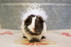 Princess Guinea Pig #GuineaPig #nationaldressupyourpetday