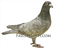 Pigeon Pictures, Pigeon Breeds, Homing Pigeons, Pigeon Loft, Vans, Racing, Birds, Lofts, Opal