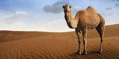 un cammello e un dromedario si incontrarono al fresco dell'oasi...