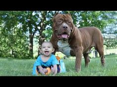 Funny Pitbull and Baby Videos Funny Babies and Dogs Playing Compilation Pit Bulls, Pitbull Americano, I Love Dogs, Cute Dogs, Unusual Animal Friendships, Dog Shaming, Wild Dogs, Baby Dogs, Beautiful Dogs