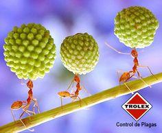 La hormiga, que ve andar en grupos por diferentes superficies es más una molestia que una plaga. Hay más de 10.000 especies de hormigas conocidas alrededor de el mundo.  Las hormigas son criaturas verdaderamente interesantes. A continuación hay algunos datos sobre las hormigas que sin duda querrá saber: