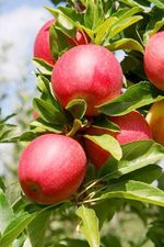 Deliciously Beautiful, Using Apple Ingredients in Natural Skin Care