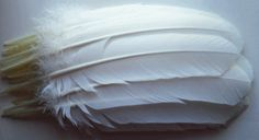 Quill Turkey Feathers - Dozen White Right