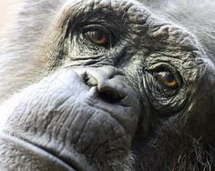 """Tired eyes""  Old chimpanzee in zoo  (makes me sad...)"