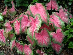 """Caladium - also comes in a variety of colors. Leaves can be huge - 10"""", easy shade plant to grow"""