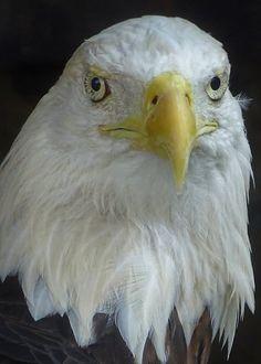 BALD EAGLE by Rocco Cafagna / 500px Birds Of Prey, Bald Eagle