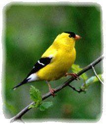 chardonneret jaune - oiseau du Québec