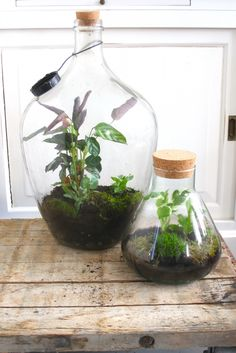 DIY: terrarium with wilderness - make roomed - Diygardensproject.live - DIY: Make Terrarium with Wilderness – Roomed - Mini Terrarium, Bottle Terrarium, How To Make Terrariums, Bottle Garden, Terrarium Plants, Diy Garden, Garden Care, Plants In Bottles, Decoration Plante