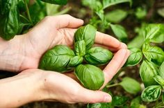 Two hands cup a sprig of basil growing in the garden, with more basil growing in brown soil in shallow focus in the background. Herbs, Plants, Garden, Dish Garden, Perfect Garden, Urban Garden, Aromatic Herbs, Growing Basil, Insect Repellent