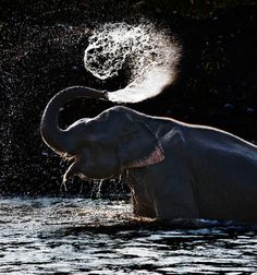 An Asian elephant sprays itself with water in Thailand