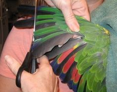 How to Clip Wings To clip your bird's wings fan out the wing. You'll see longer and shorter feathers. The longer feathers are called flight...