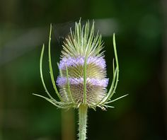 Teasel. ( EXPLORED )