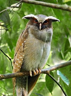 The Crested Owl (Lophostrix cristata) is a large sized (up to 43 cm) owl found in tropical forests throughout much of Central and South America. They are cavity nesters, who feed on a wide variety of large invertebrates and small vertebrates.