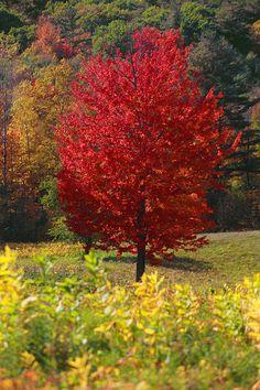 Red maple tree. ©Trevor Slauenwhite Photography