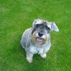 Female Dog Names, Miniature Schnauzer, Beautiful Dogs, Schnauzers, Animals, Babies, Dog Names, Medium Dog Breeds, Mans Best Friend